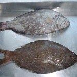Indian Halibut 1