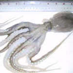 Land Frozen Poulp Squid
