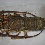 Sea Frozen Lobster